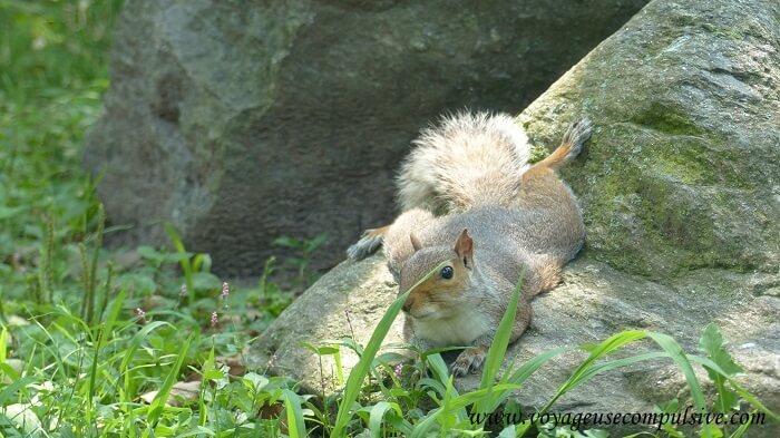 Un écureuil de Central Park, allongé sur un rocher