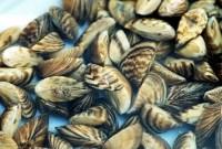 Invasive Invertebrates Zebra Mussels