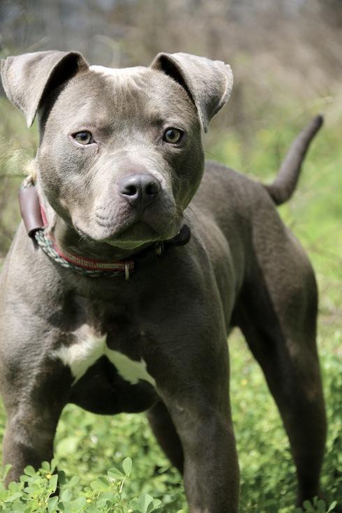 Parolees Pit Bulls Website Adoption