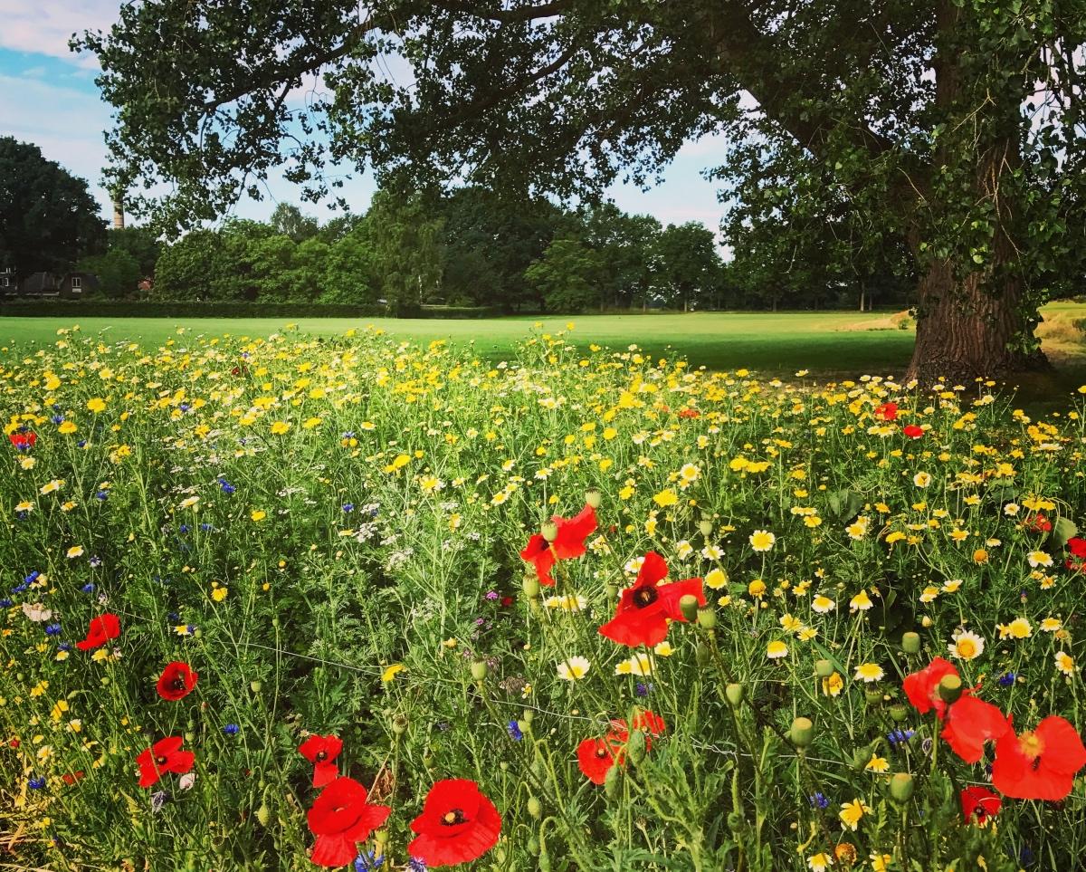 Bloemen in het voorjaar, klaprozen, bloeiende veldbloemen