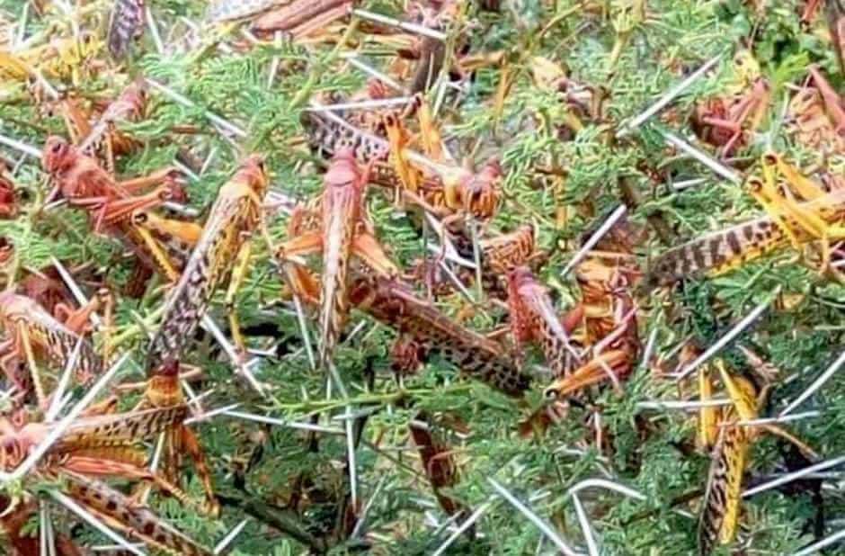 Heuschreckenplage in Ostafrika bedroht 13 Millionen Menschen