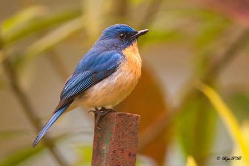 Tickell's Blue Flycatcher @ Sim's Park, Coonoor