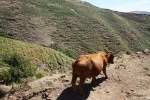 Горная корова не боится высоты