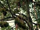 На острове Пинанг дурианы привязывают ленточками, чтобы не разбились при падении