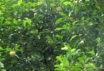 Мускатный орех с острова Пинанг считают лучшим в мире