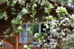 Цветы запоздалые: середина мая на даче