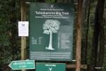 Осмотр самого старого дерева начинается с кассы
