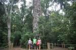 Йелоувуд - 8,5 метров в обхвате
