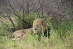 Лев, глава прайда