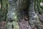 Корни национального дерева напоминают слоновьи лапы