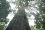 Это дерево росло тысячу лет
