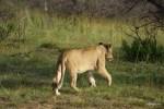 Походка львицы нетороплива, когда она не голодна