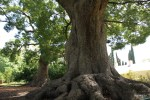 Это дерево - ровесник поместья Верхелехен