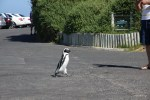 Пингвин отправился по делам
