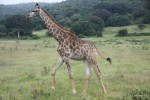 Утренний моцион жирафа в заповеднике Карьега