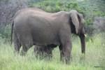 Слоненок питается материнским молоком на ходу