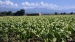 Табачные плантации в долине Вера, Эстремадура