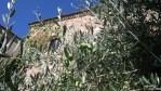 Оливковое дерево в испанском Касересе, Эстремадура