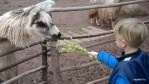 Даня кормит альпаку