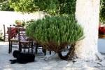 Куст розмарина под араукарией. Винодельня Ностос, Крит