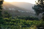 Виноградник на закате солнца.  Аксос, Крит