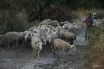 Отара овец на закате возвращается домой. Аксос, Крит
