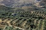 50% культивируемой земли на  Крите занято оливковыми рощами