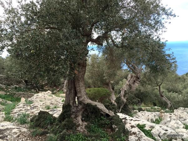Старинная оливковая роща в Серра-де-Трамунтана