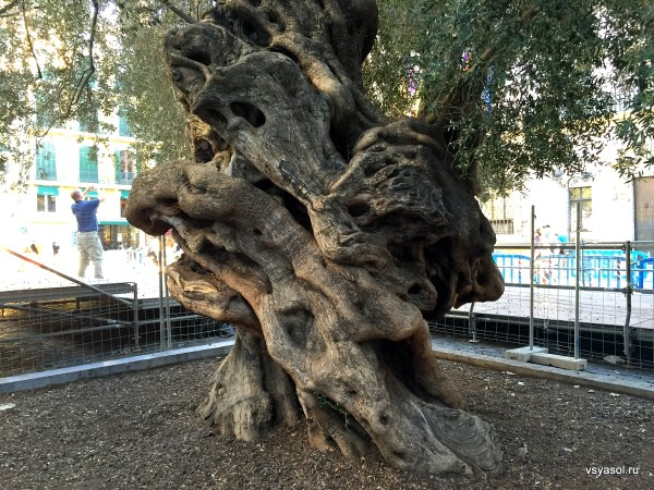 Этому дереву в Пальме-де-Майорка более тысячи лет