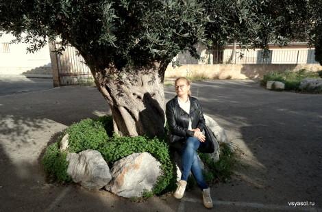 Оливковое дерево в деревне Кальвия на Майорке