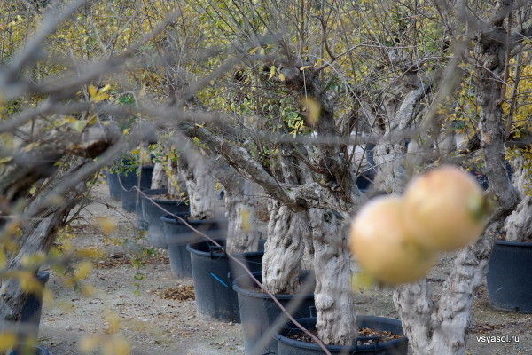 Питомник гранатовых деревьев на Майорке