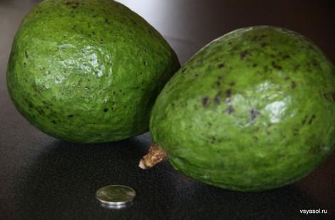 Пятирублевая монета позволяет оценить размер бразильских авокадо