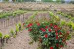 По краям виноградников высаживают розы. Фото: Анатолий Мирюк