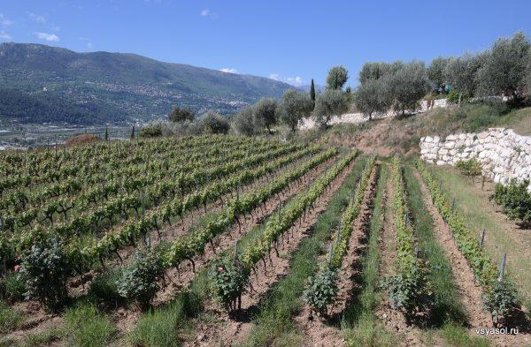 Оливковые деревья в Провансе соседствуют с виноградниками
