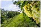 Из этого белого винограда делают коньяк