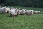Овцы баскской породы латча, из молока которых делают сыр Идиасабаль