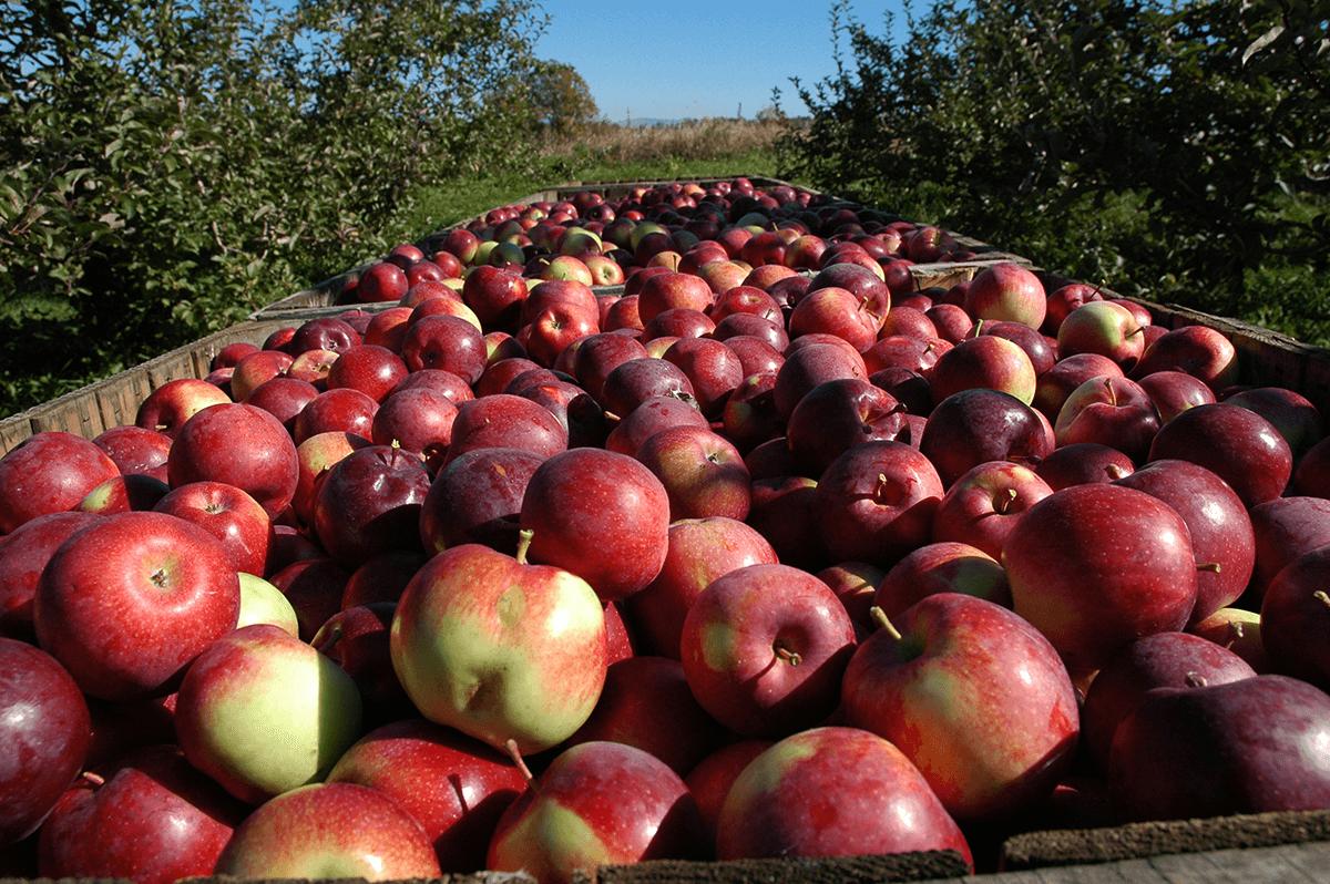 Image of apples in bins