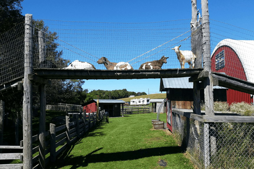 Image of Great Vermont Corn Maze goats