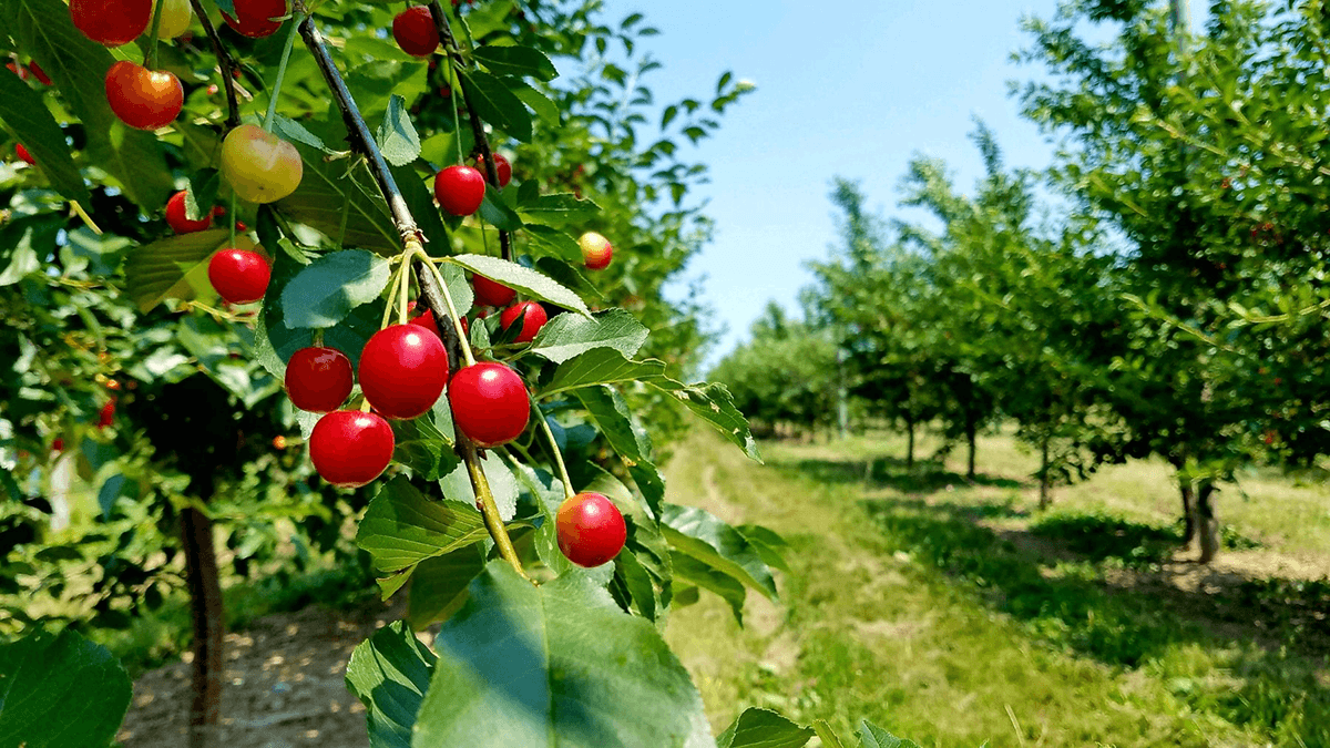 Image of sour cherries