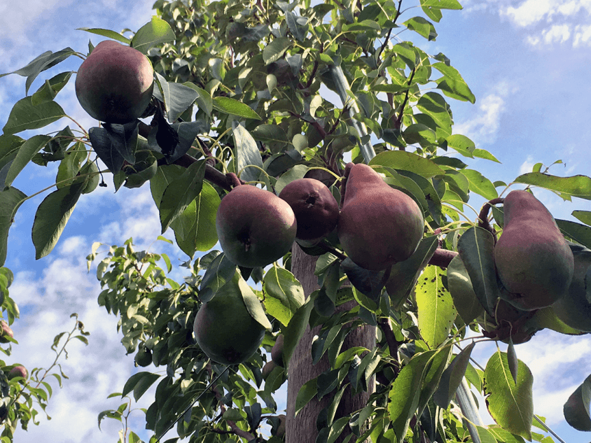 Image of pears on the tree