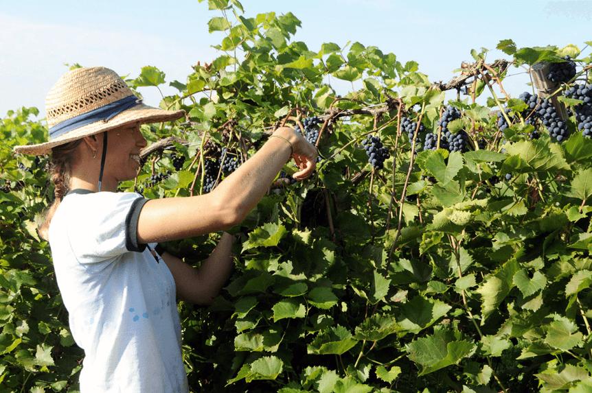 Image of Sara harvesting grapes at Lincoln Peak Vineyard