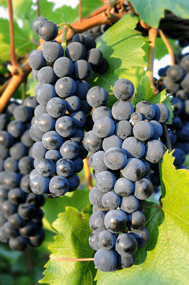 Image of Marquette clusters at Lincoln Peak Vineyard
