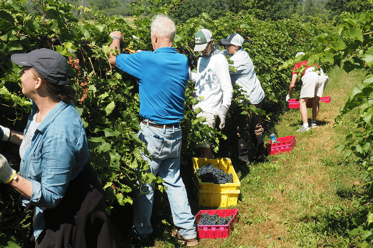 Image of crew harvesting grapes