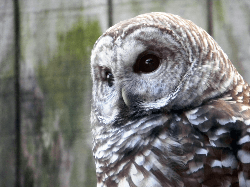 Image of Alistaire the owl