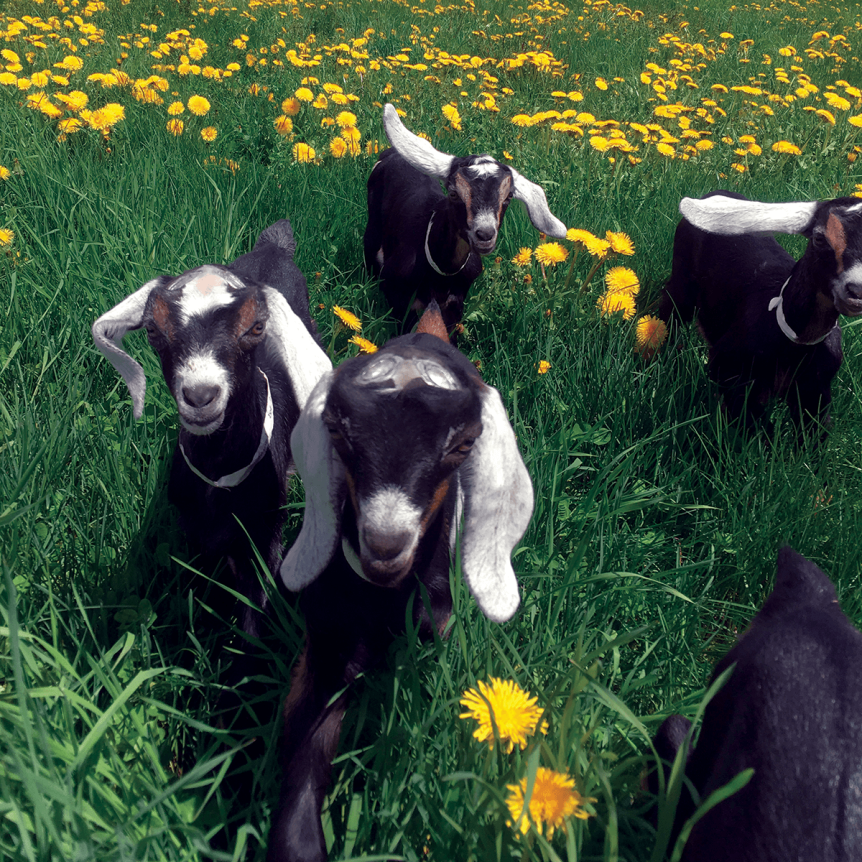 Image of baby goats (kids) at Hildene, The Lincoln Family Home