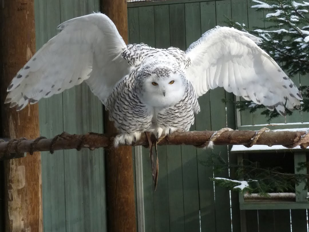 Image of a snowy owl at the Raptor Center at VINS