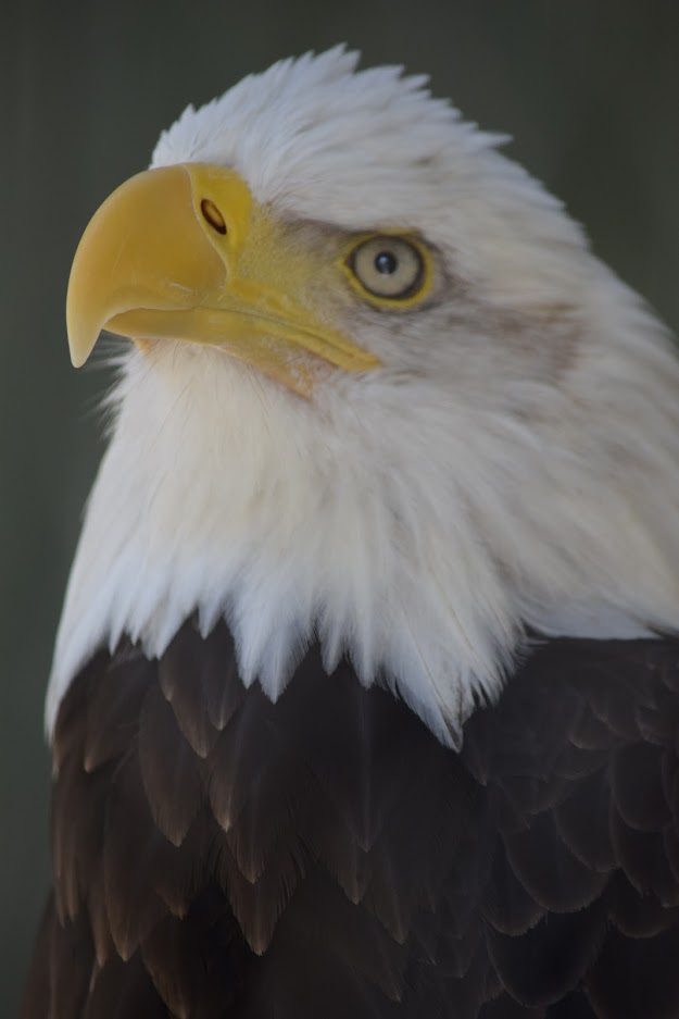 Image of a bald eagle at VINS