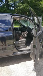 Black labrador dog sitting in a truck