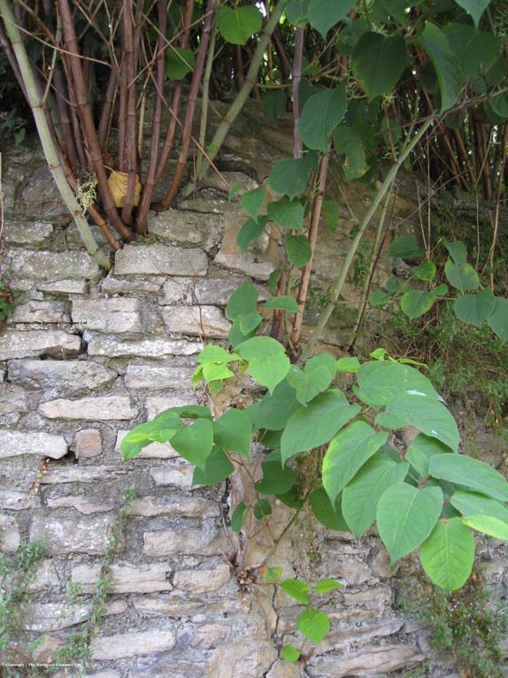 Waarschuwing: plant geen Japanse duizendknoop