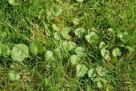 Onkruid bestrijden in gras
